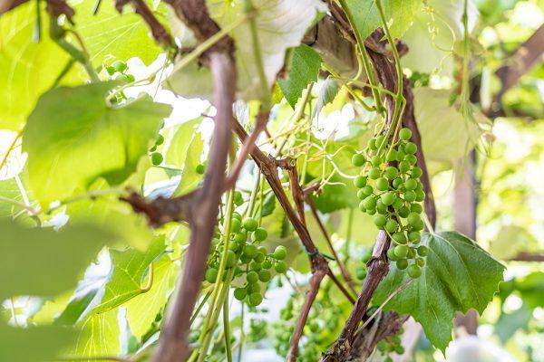 Weintrauben - der Grundstoff für unseren Rothberger Cuvée